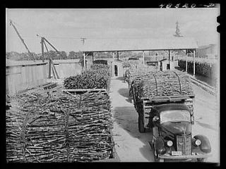 Arecibo,Puerto Rico (vicinity). Truckloads of sugar cane at a mill
