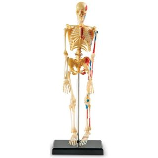 Human Skeleton Anatomy Model Science Educational Leaning Toys Teaching