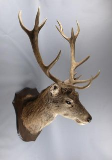 red deer stag head taxidermy image