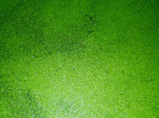 Duckweed Floating Pond Plant Food Source Turtles Koi Gold Fish Frogs