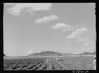 ,Puerto Rico (vicinity). Planting sugar cane on a large plantation